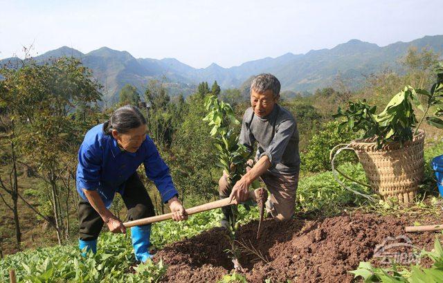 11月9日,龙角镇泉水村村民谭高翠夫妇正在栽植红心蜜柚.